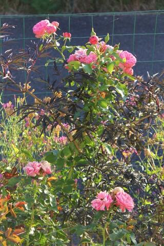 rose de Molinard de Delbard