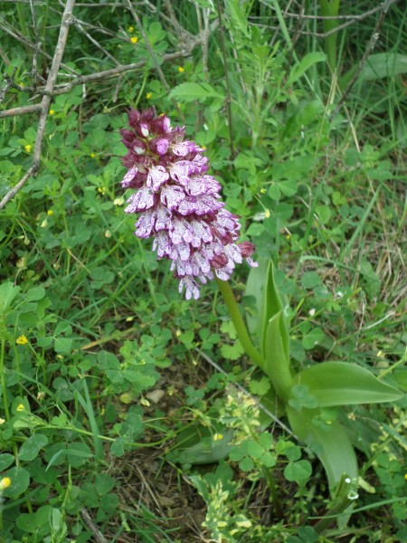 Orchis pourpre (Tuchan Avril 2015)