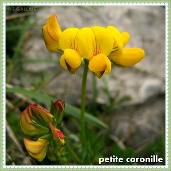 Petite coronille-Coronilla minima