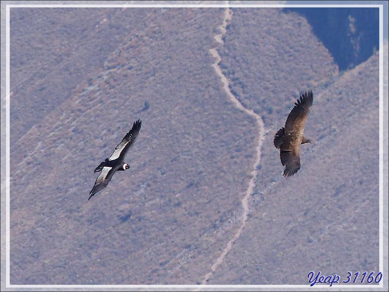 El condor pasa - Canyon de Colca - Pérou