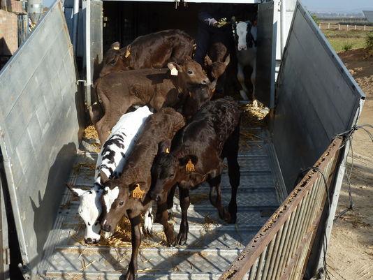 La France est le deuxième exportateur européen de veaux non sevrés.