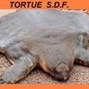 tortue SDF.jpg