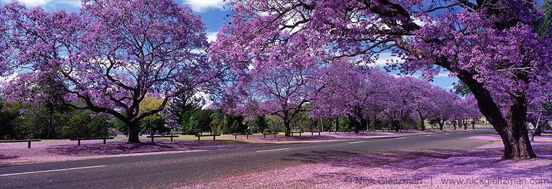 Grafton Australia  city images : Le jacaranda est un très bel arbre originaire d'Amérique Latine ...