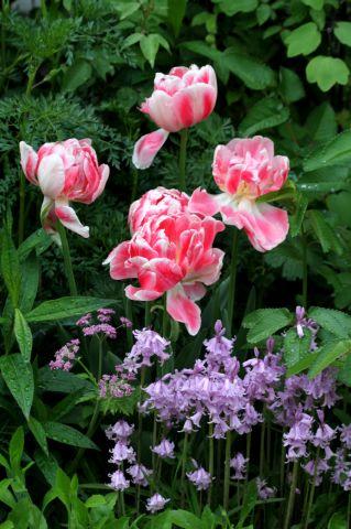 Tulipes 2017 : Finola