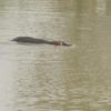 Bénin Parc de la Pendjari Hippopotame