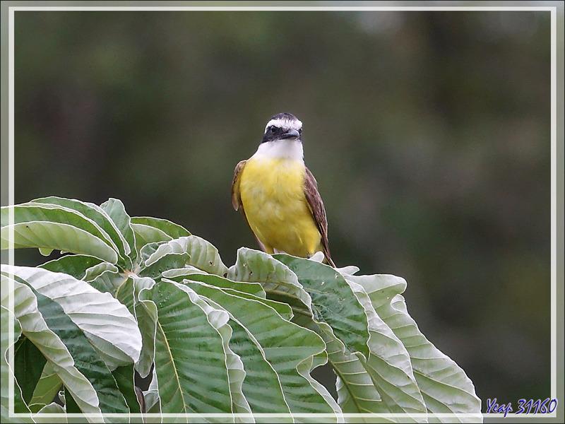 Tyran quiquivi, Great kiskadee, Benteveo común (Pitangus sulphuratus) - Puerto Iguazu - Argentine