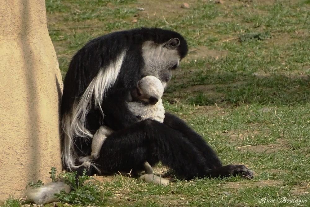 Maman Colobe et son petit