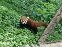 Panda Roux : Pairi Daiza 2014