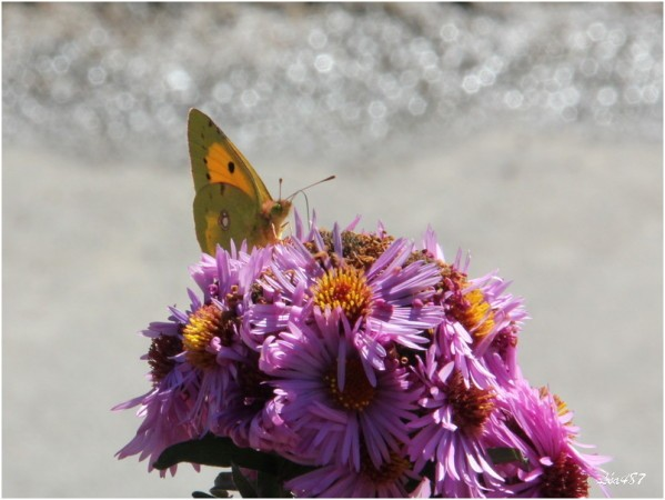Papillons-2-0013-Souci.jpg