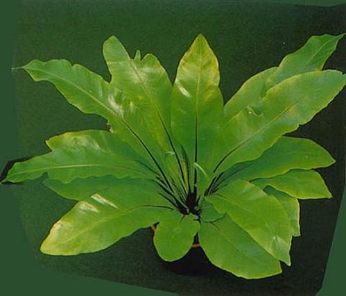 asplenium.nidus