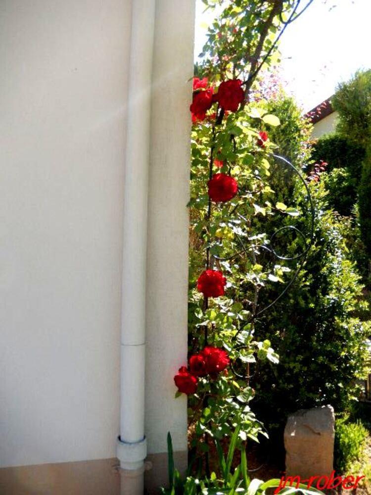 Jardin: Quand les roses se font voluptueuses