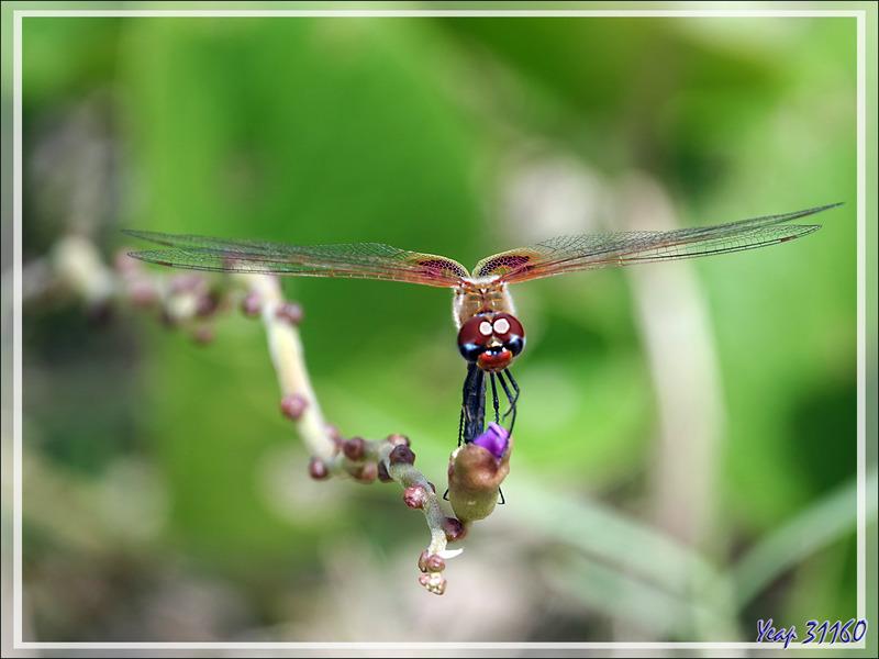 Libellule : photo ratée ! - Grande Mitsio - Madagascar