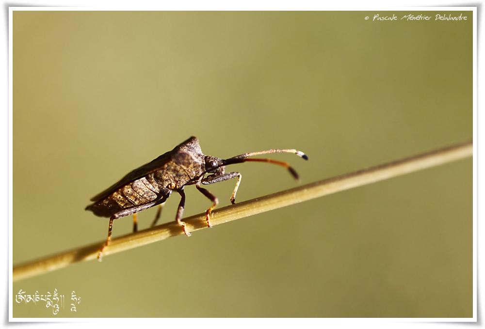 Coreus marginatus famille des Coreidae (punaise)