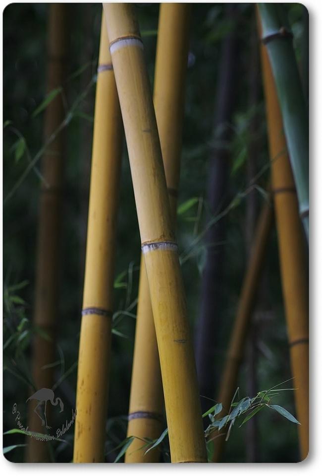 Bambous...