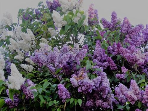 BON VENDREDI - le lilas