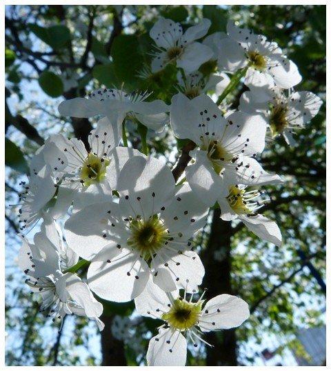 fleur-blanch.jpg