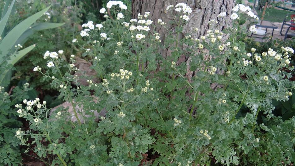 """Chrysanthème d'été ou Tanacétum parthenium """"Tetra white wonder"""""""