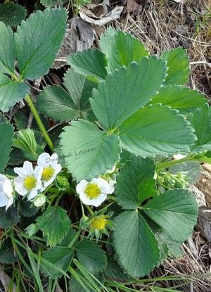 Fraisier en fleur - Début Mai