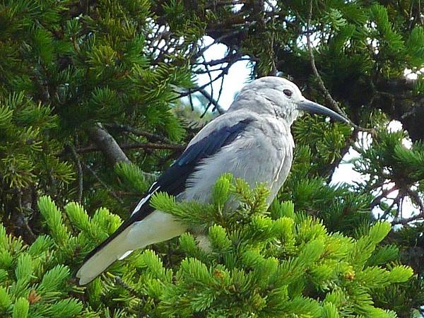 Jour 18 Lake Louise oiseau