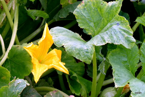 Fleurs jaune de courgette
