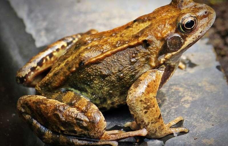 Ardennes : Un braconnier qui détenait chez lui près de 5.000 grenouilles rousses condamné
