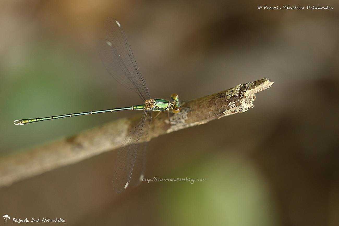 Leste vert - Lestes viridis