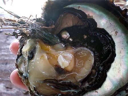 huitre perliere