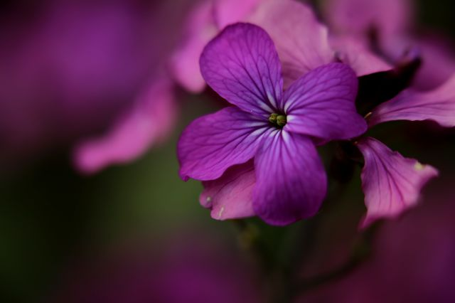 Des compagnes pour mes roses : Lunaria