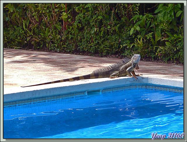 Blog de images-du-pays-des-ours : Images du Pays des Ours (et d'ailleurs ...), L'iguane qui voulait se baigner dans la piscine de l'hôtel - Tortuguero - Costa Rica