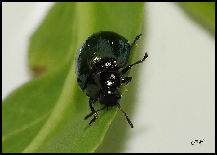 Plagiodera versicolora.