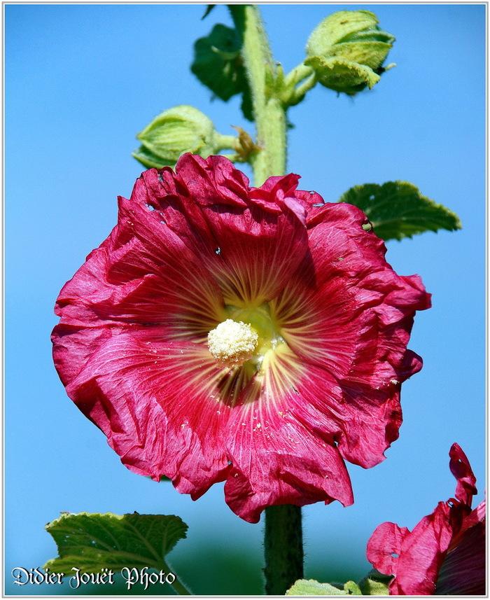 Rose Trémière / Alcea rosea