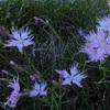 Oeillet de Montpellier (dianthus hyssopifolius ou Dianthus monspessulanus), blancs et roses