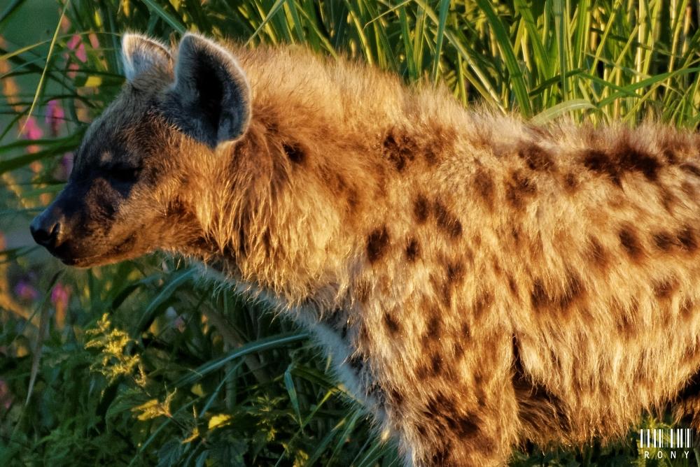 Mes amis les hyènes