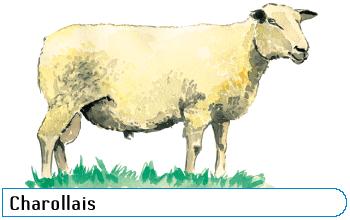 Les races ovines