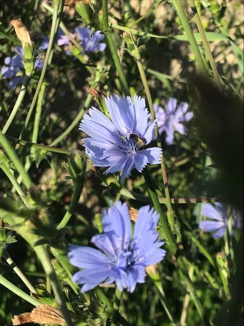 Chicorée sauvage Cichorium intybus Inflorescence