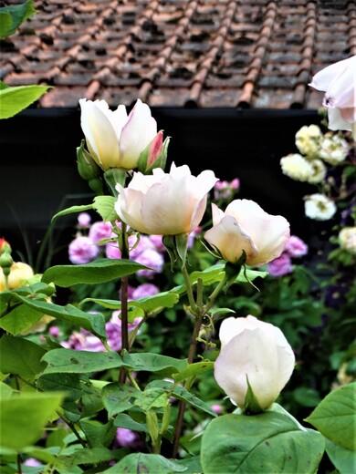 Le temps des roses (part 5)