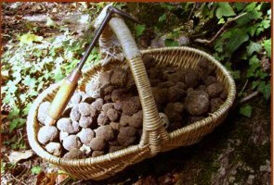 Y'a-t-il encore des truffes ?