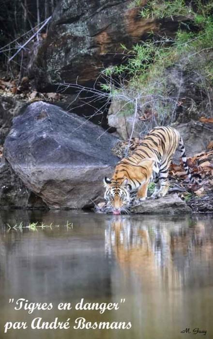 tigre-buvant-2246