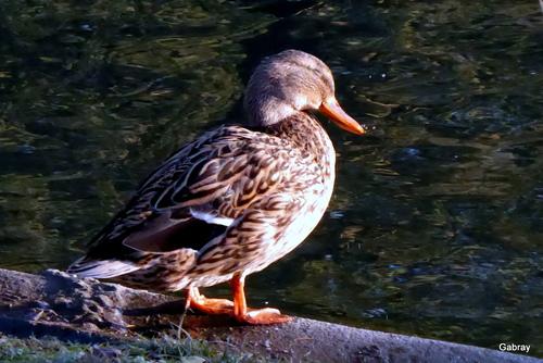 Tarbes: les canards du parc