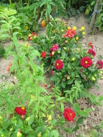 Mes-fleurs-et-le-potager-3175.JPG