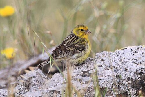Serin des Canaries (Atlantic Canary)