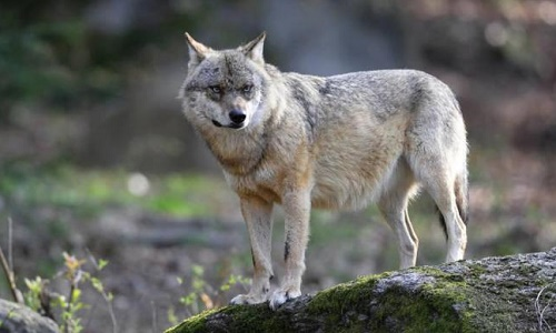 Pétition : Oui aux loups des Vosges