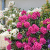 rhododendron sistels mai 2016