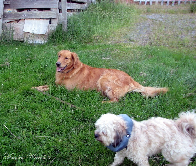 Nouvelles du Canada 157 : Comme chiens et chats