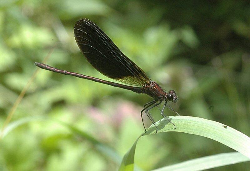 calopteryx-haemoro-male2