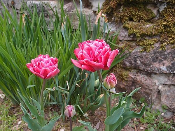 Tulipe-blue-diamond-2.jpg