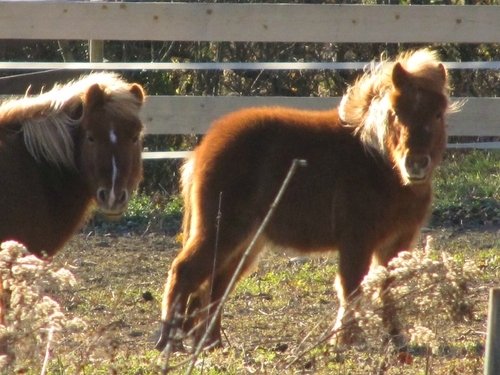 Des poneys