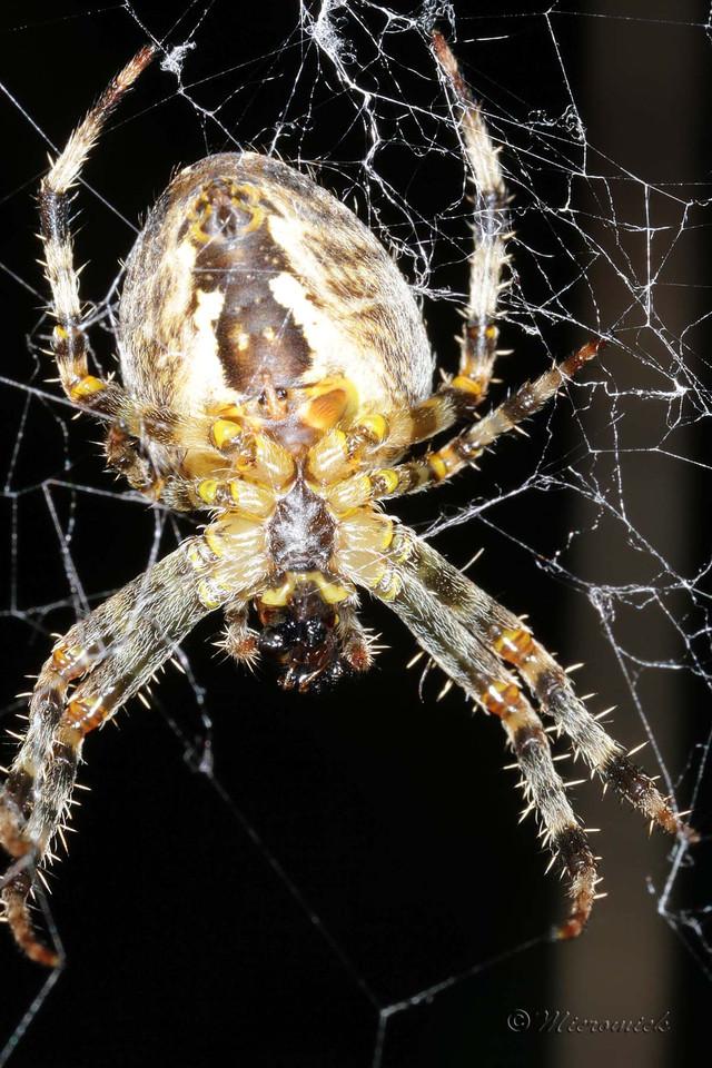 Blog de micromick : MICROCOSMOS, Epeire diadème (Araneus diadematus)