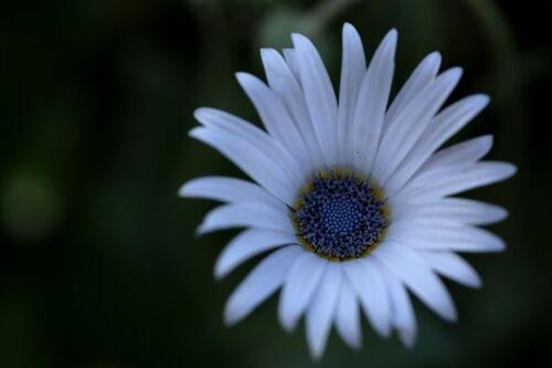 Des compagnes pour mes roses : Arctotis venusta