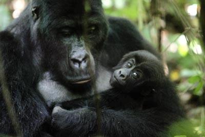 Le Gorille des montagnes
